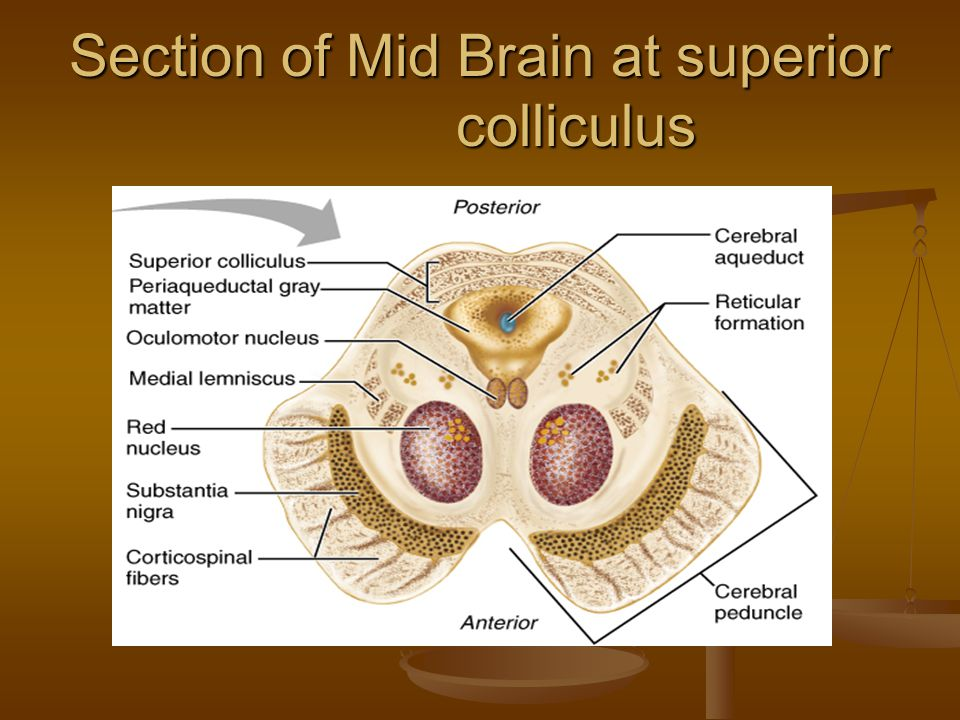Section of Mid Brain at superior colliculus