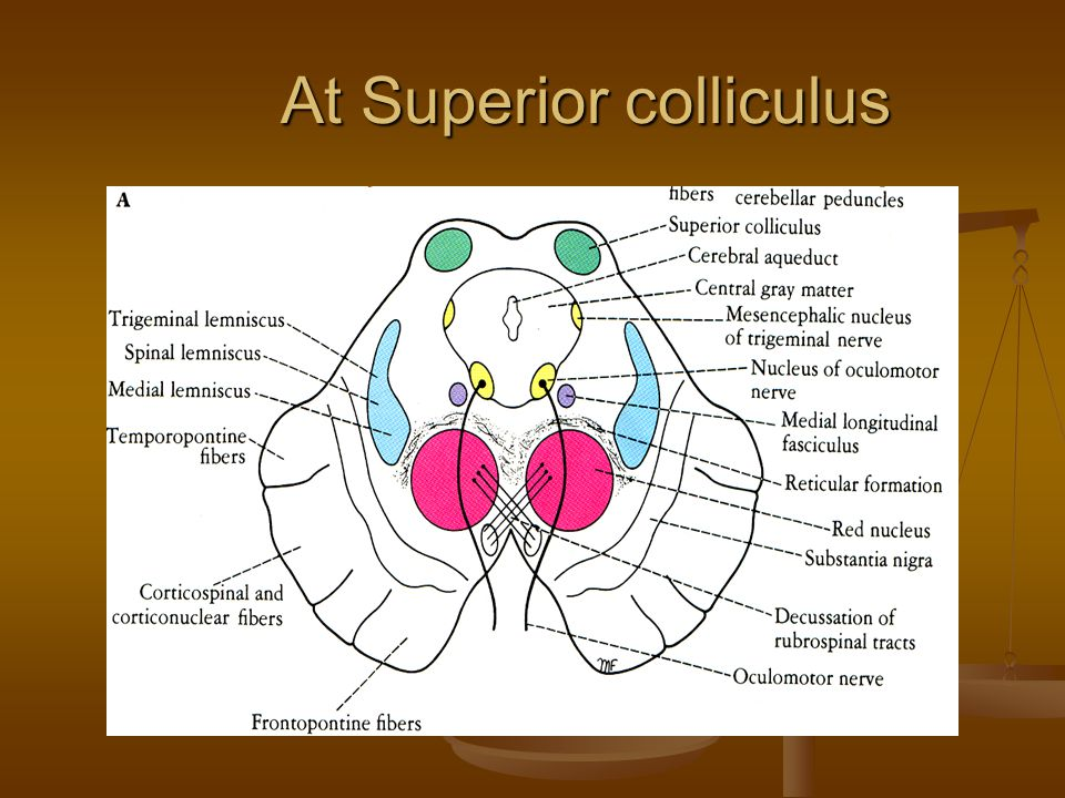 At Superior colliculus