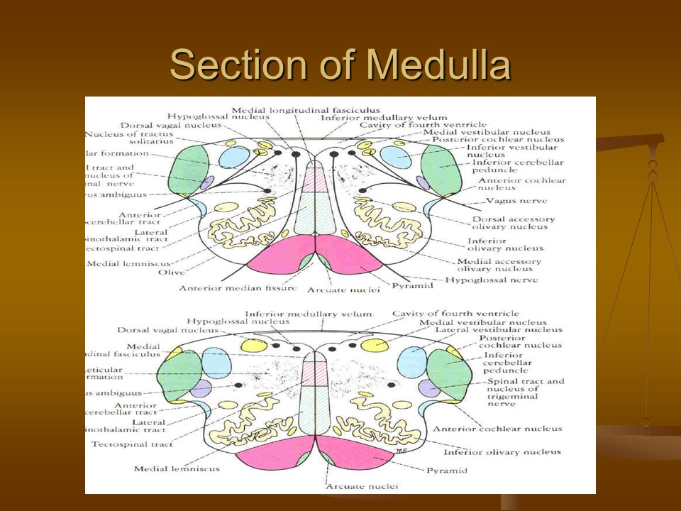 Section of Medulla