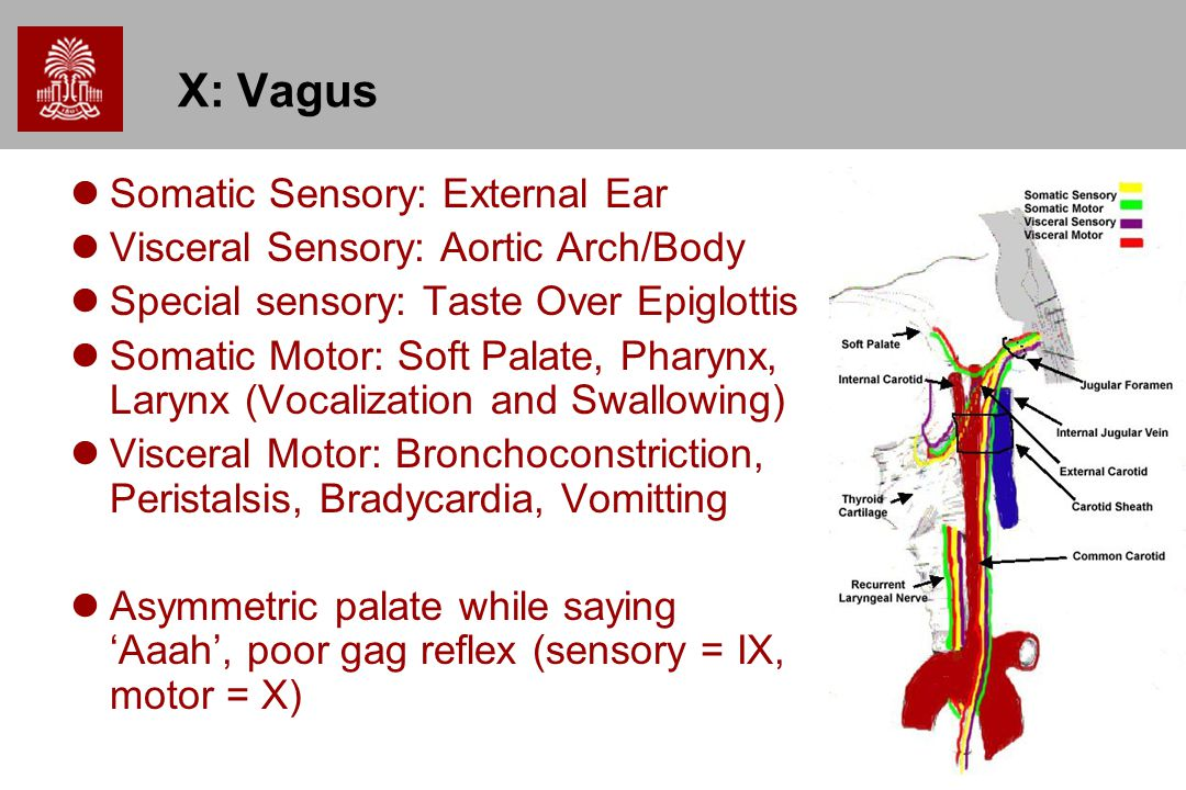 X: Vagus Somatic Sensory: External Ear