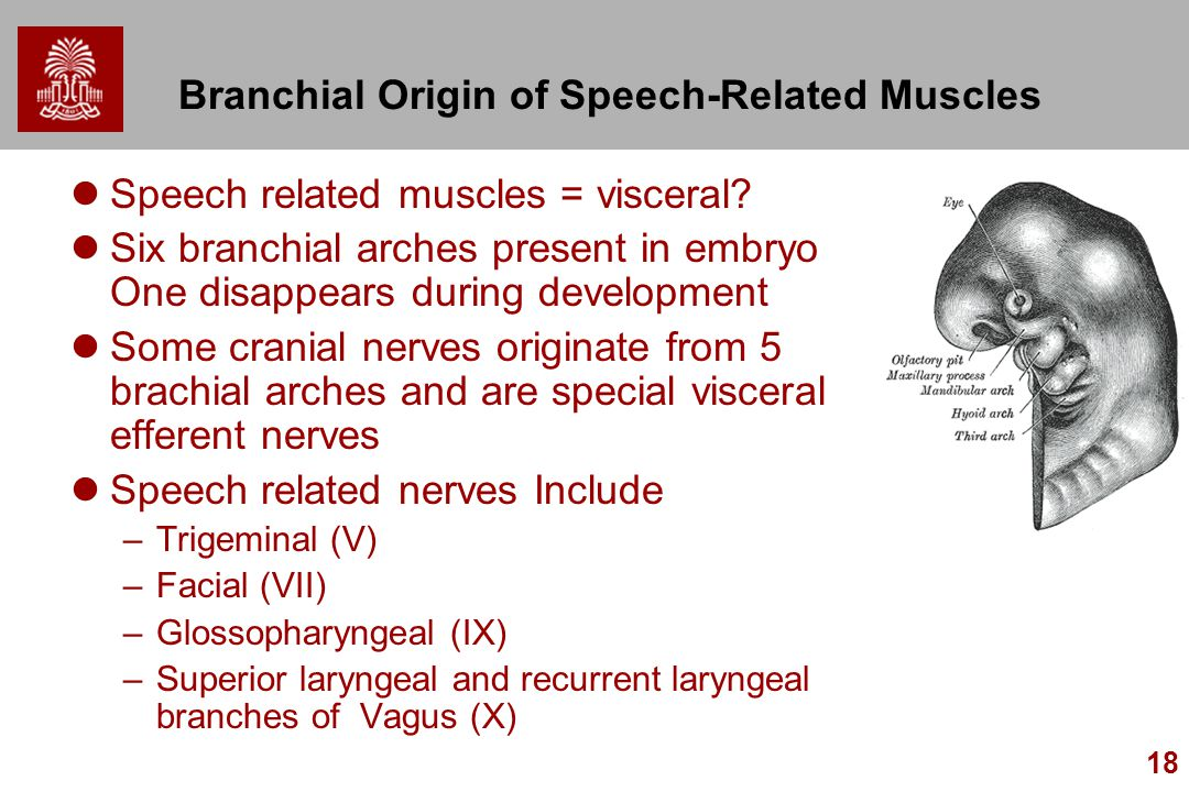 Branchial Origin of Speech-Related Muscles