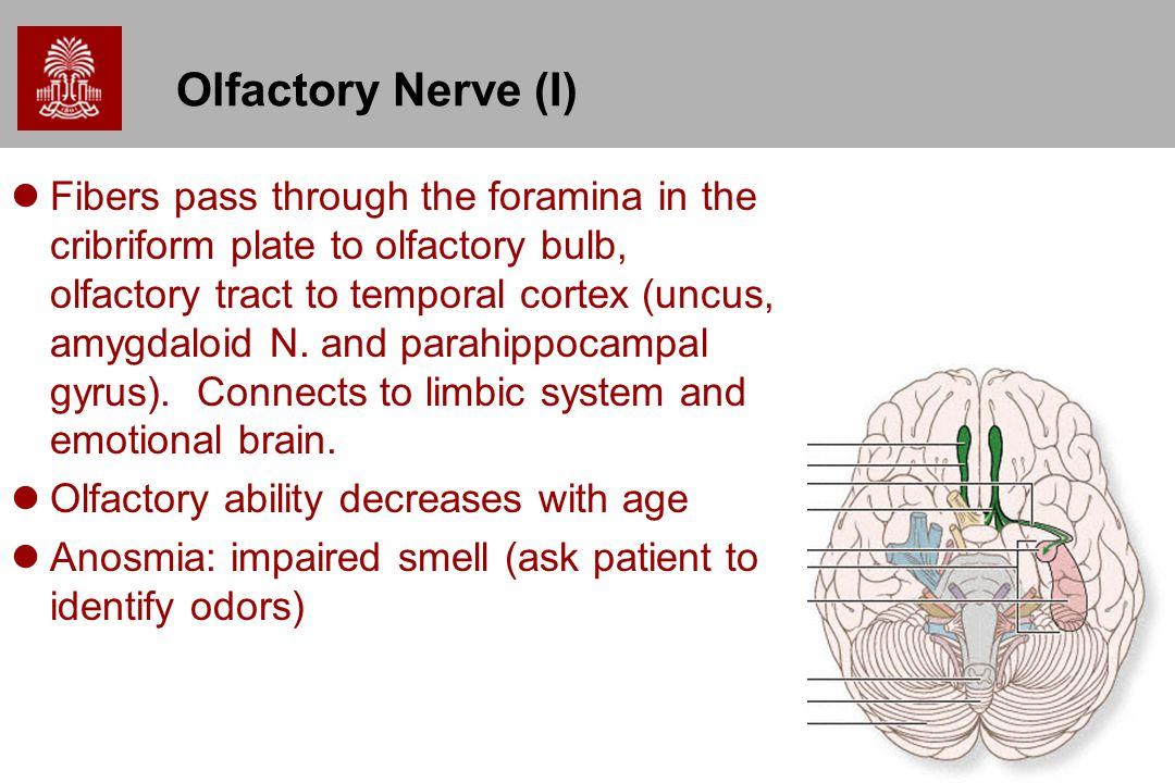 Olfactory Nerve (I)