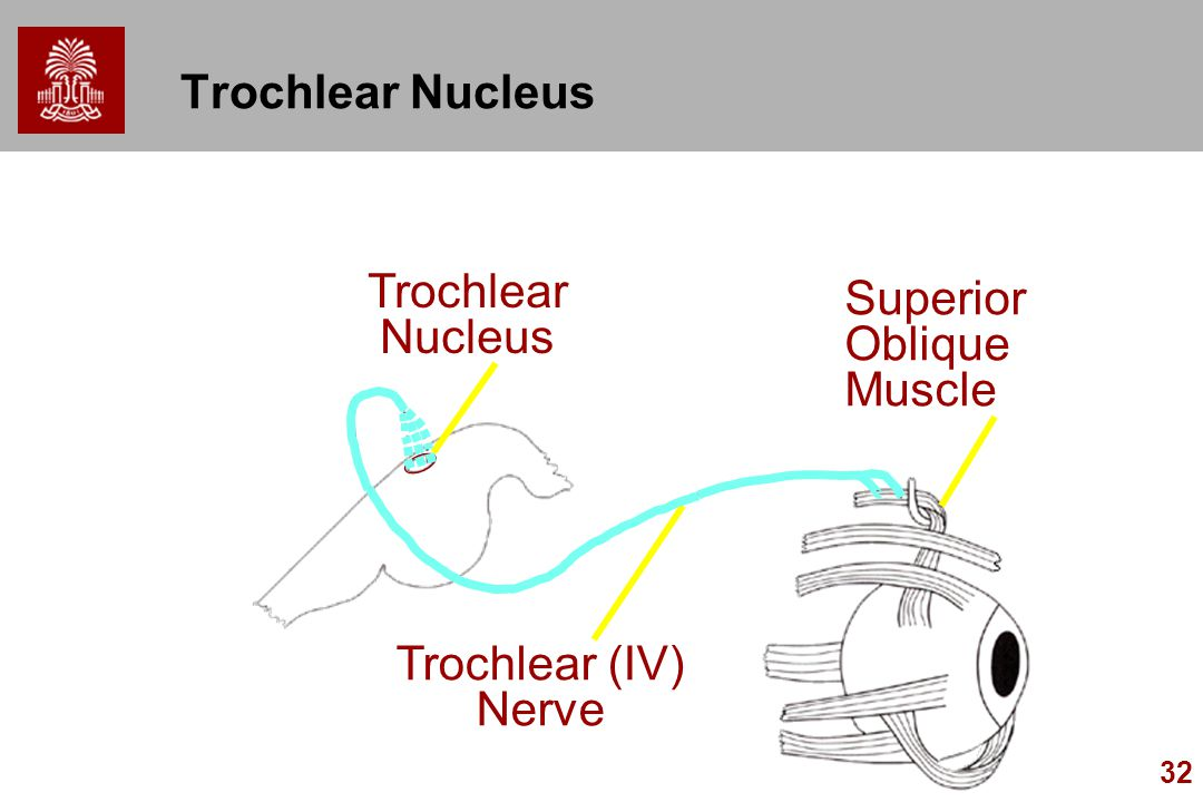Trochlear Nucleus Trochlear Nucleus Superior Oblique Muscle Trochlear (IV) Nerve