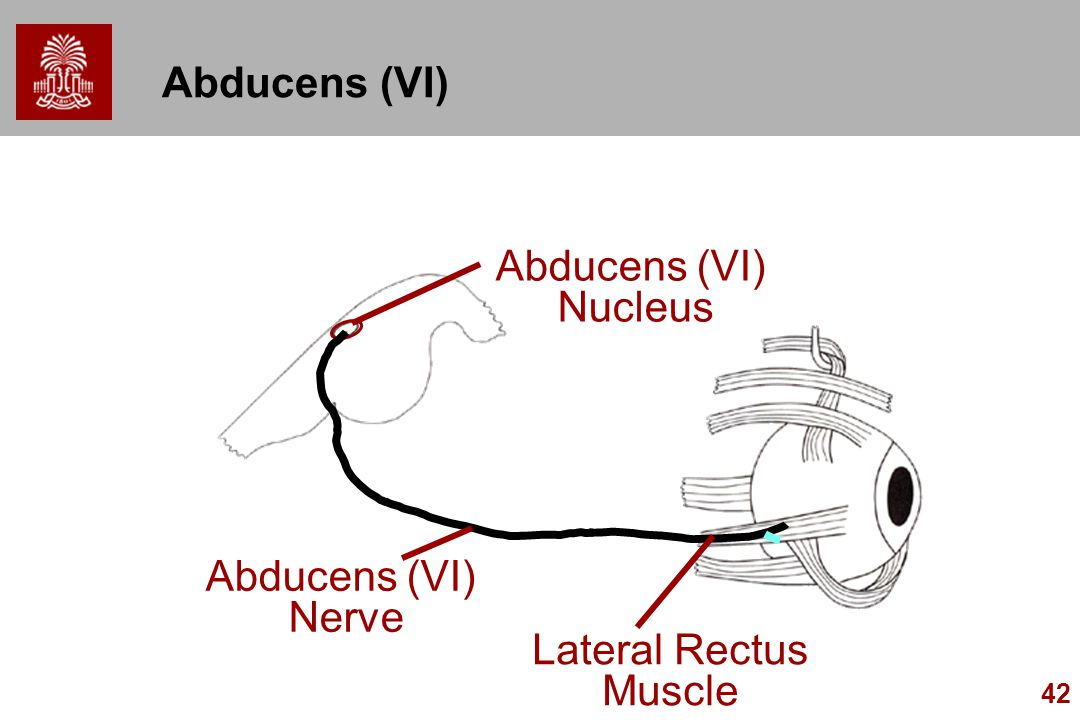 Abducens (VI) Abducens (VI) Nucleus Abducens (VI) Nerve Lateral Rectus Muscle