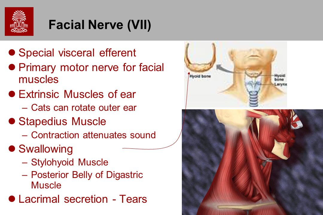Facial Nerve (VII) Special visceral efferent