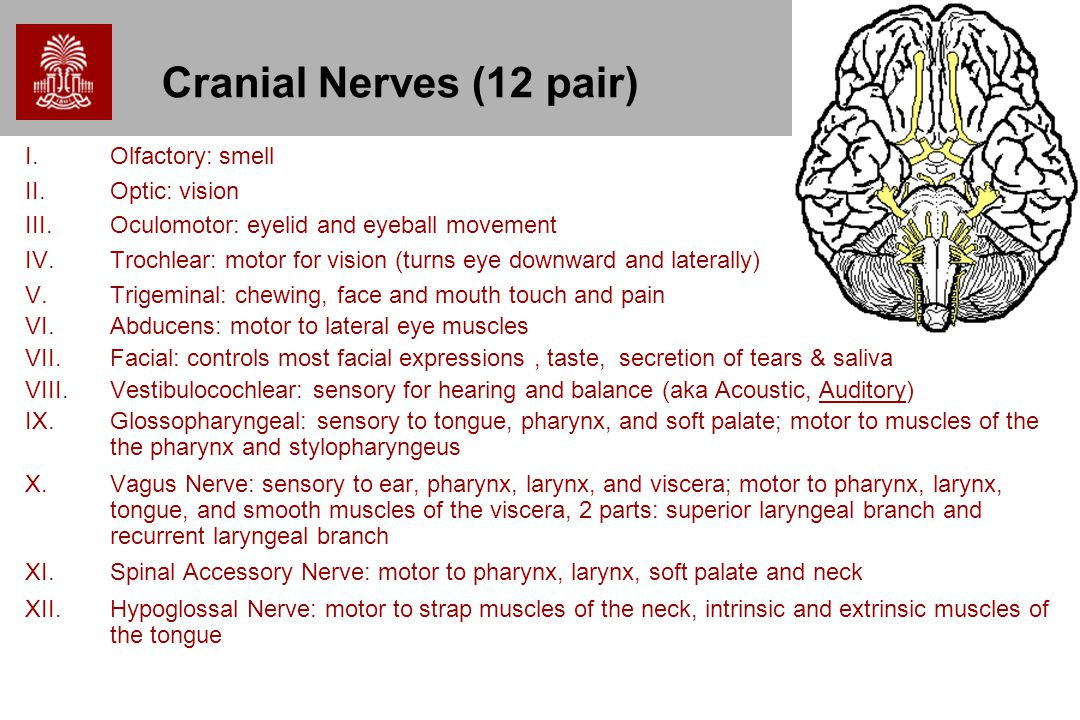 Cranial Nerves (12 pair) Olfactory: smell Optic: vision