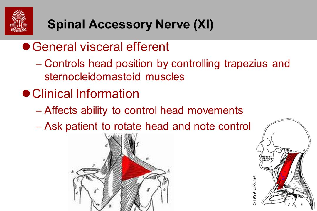 Spinal Accessory Nerve (XI)