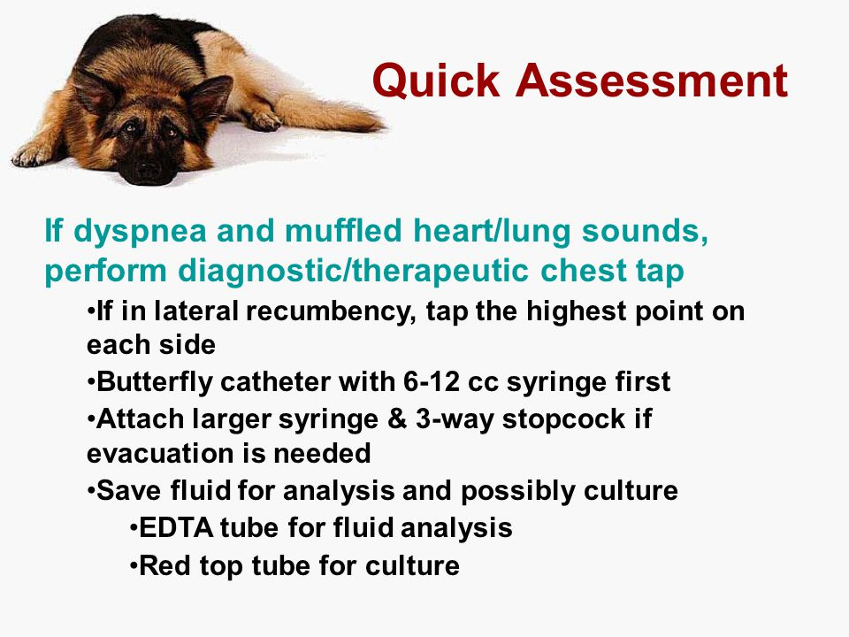 Quick Assessment If dyspnea and muffled heart/lung sounds, perform diagnostic/therapeutic chest tap.