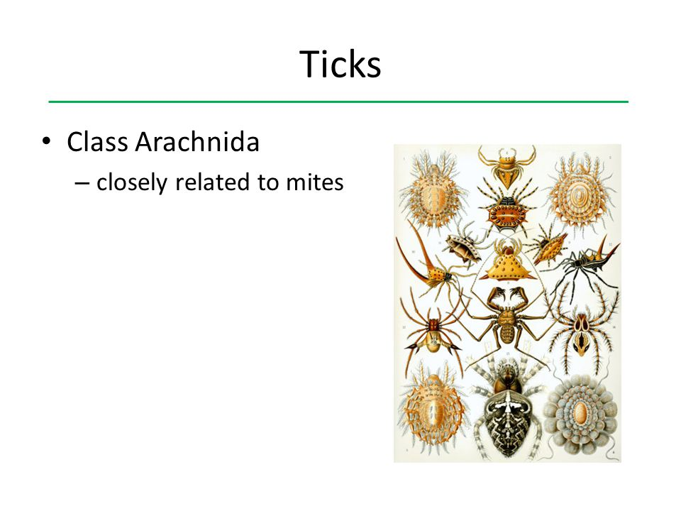 Ticks Class Arachnida closely related to mites
