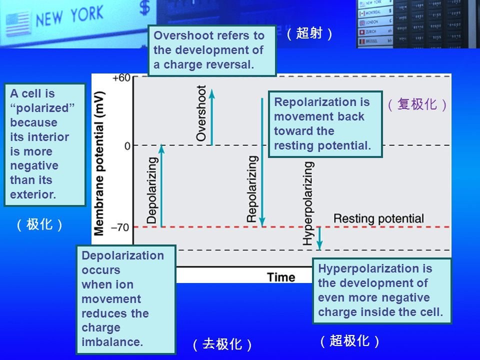 (超射) (复极化) (极化) (超极化) (去极化) Overshoot refers to the development of