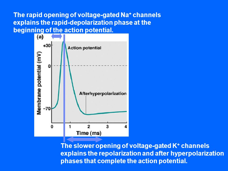 The rapid opening of voltage-gated Na+ channels