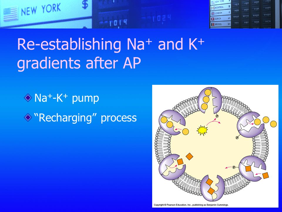Re-establishing Na+ and K+ gradients after AP