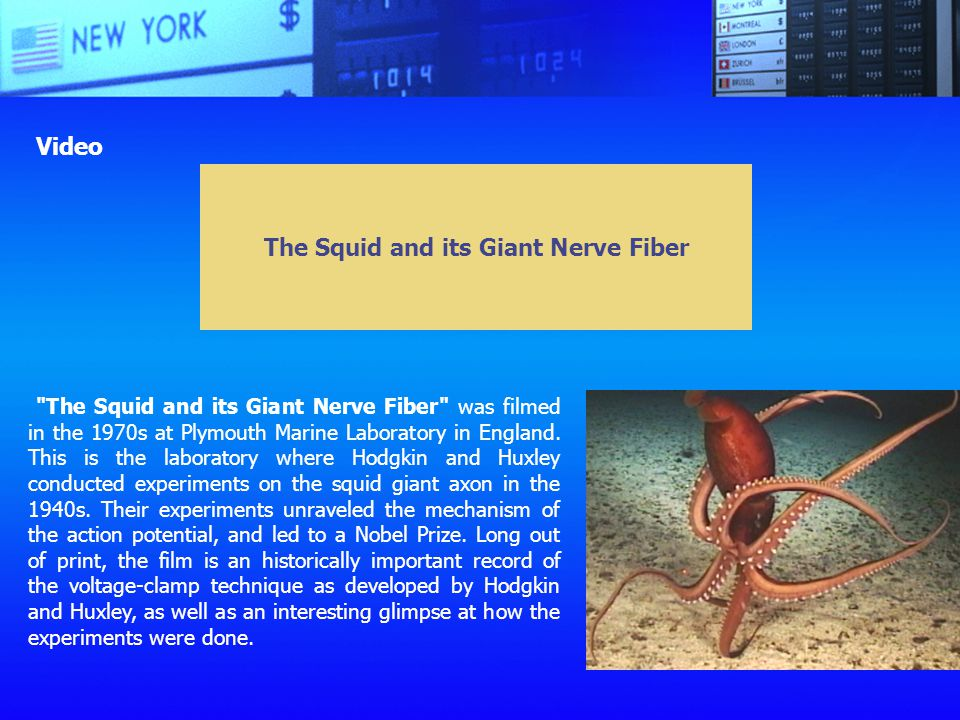 The Squid and its Giant Nerve Fiber