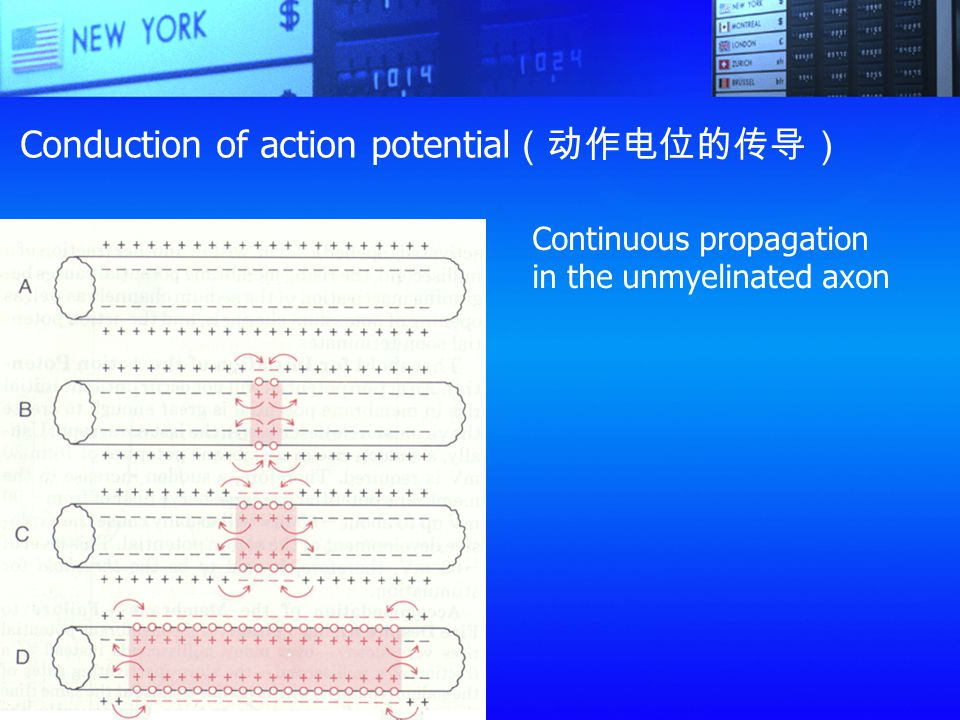 Conduction of action potential(动作电位的传导)