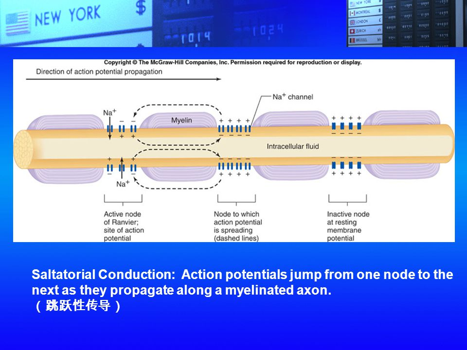 Saltatorial Conduction: Action potentials jump from one node to the
