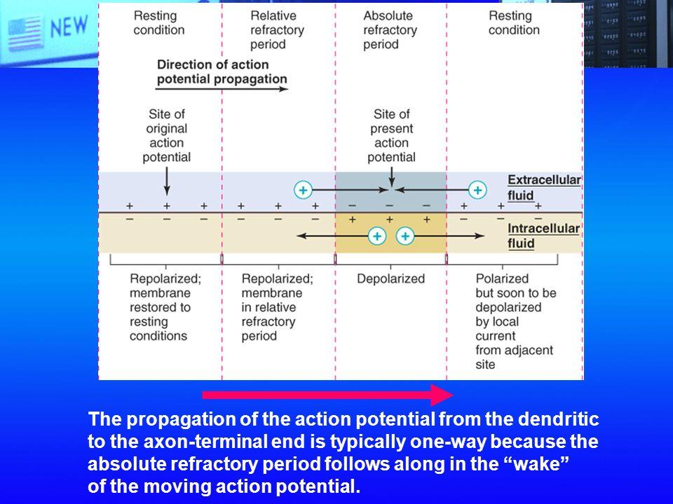 The propagation of the action potential from the dendritic