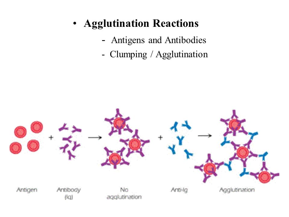Agglutination Reactions - Antigens and Antibodies