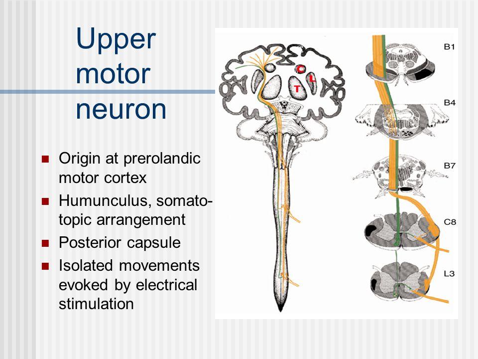 Upper motor neuron Origin at prerolandic motor cortex