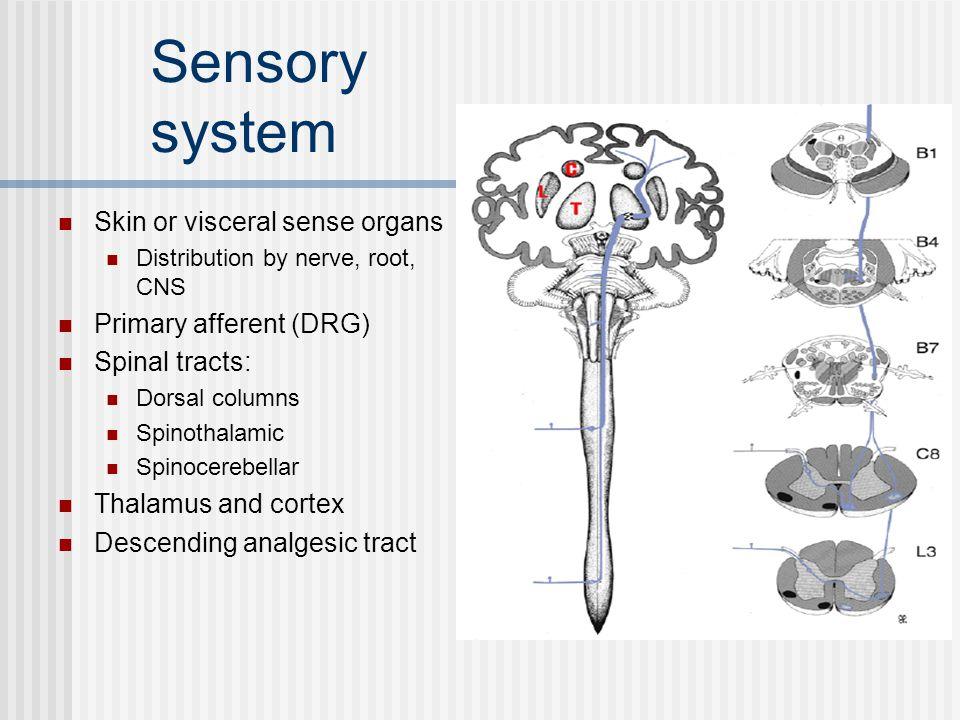 Sensory system Skin or visceral sense organs Primary afferent (DRG)