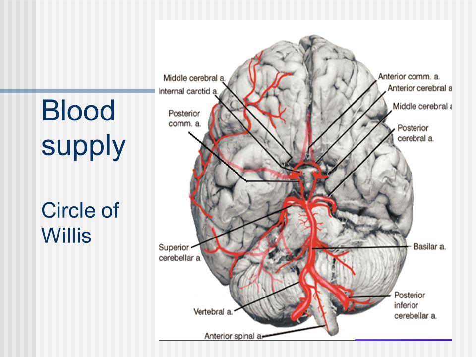 Blood supply Circle of Willis