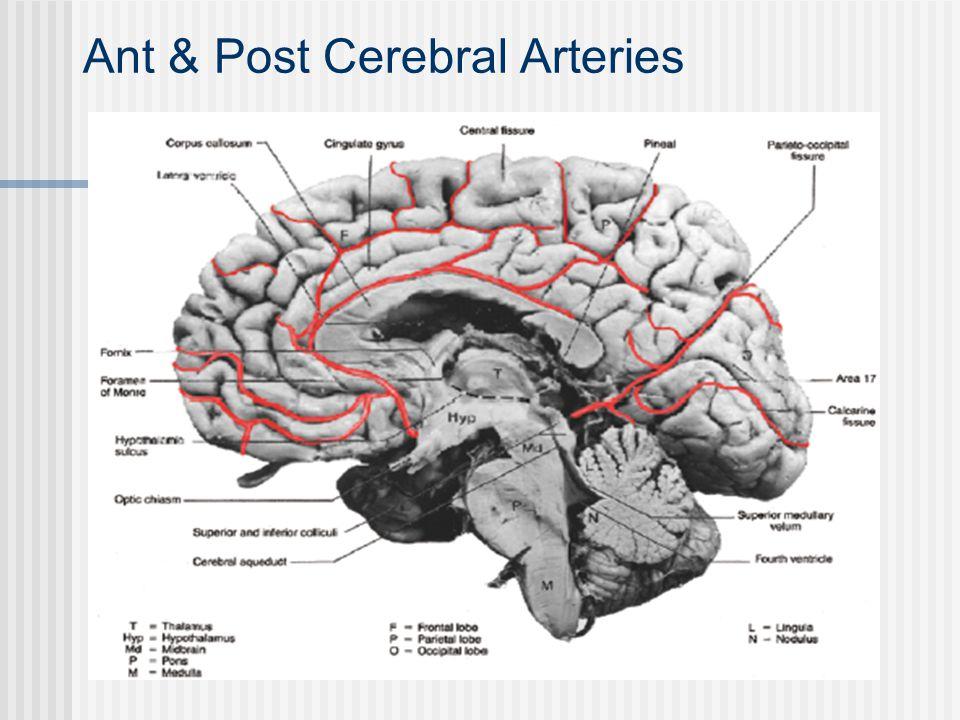 Ant & Post Cerebral Arteries
