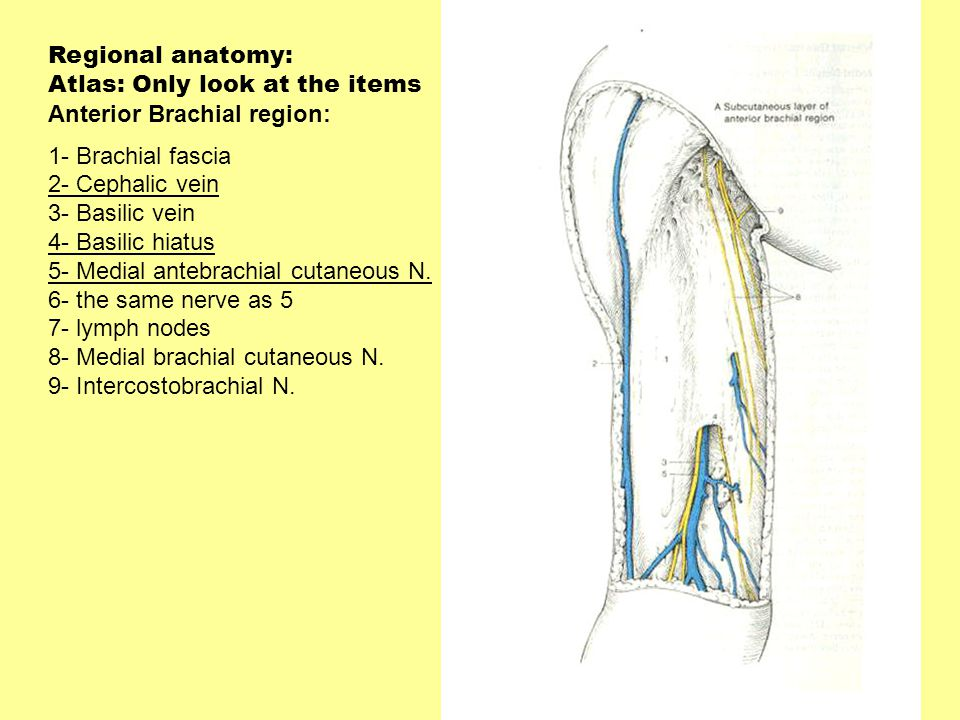 Regional anatomy: Atlas: Only look at the items. Anterior Brachial region: 1- Brachial fascia. 2- Cephalic vein.