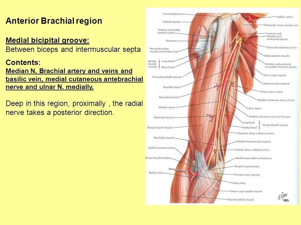Anterior Brachial region