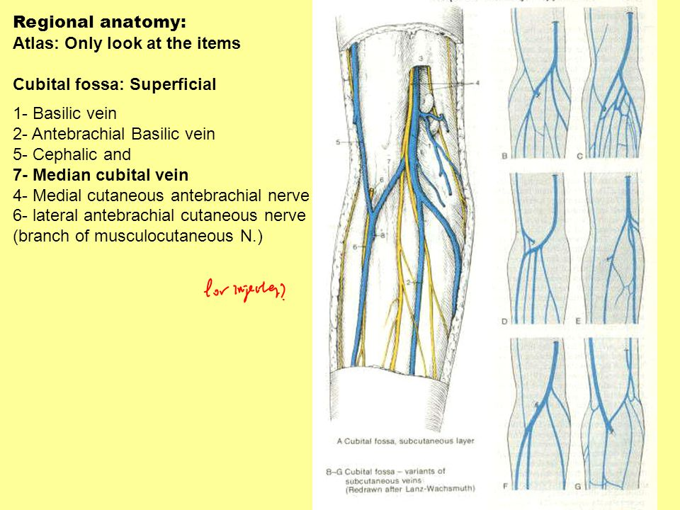 Regional anatomy: Atlas: Only look at the items. Cubital fossa: Superficial. 1- Basilic vein. 2- Antebrachial Basilic vein.