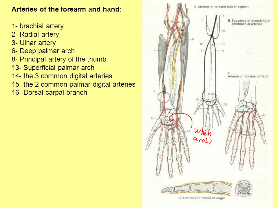 Arteries of the forearm and hand: