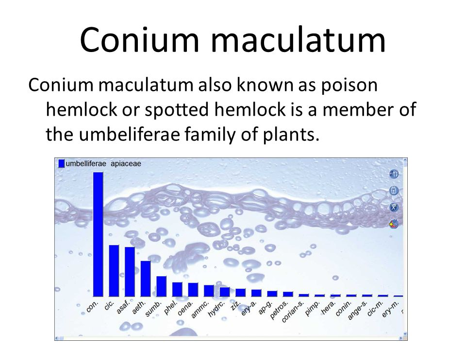 Conium maculatum Conium maculatum also known as poison hemlock or spotted hemlock is a member of the umbeliferae family of plants.