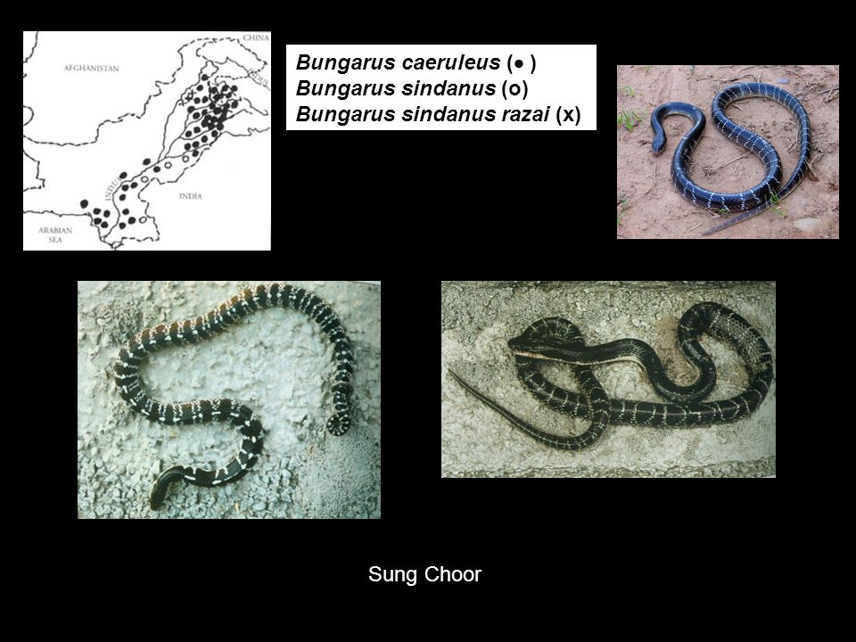 Bungarus caeruleus ( ) Bungarus sindanus (o) Bungarus sindanus razai (x)