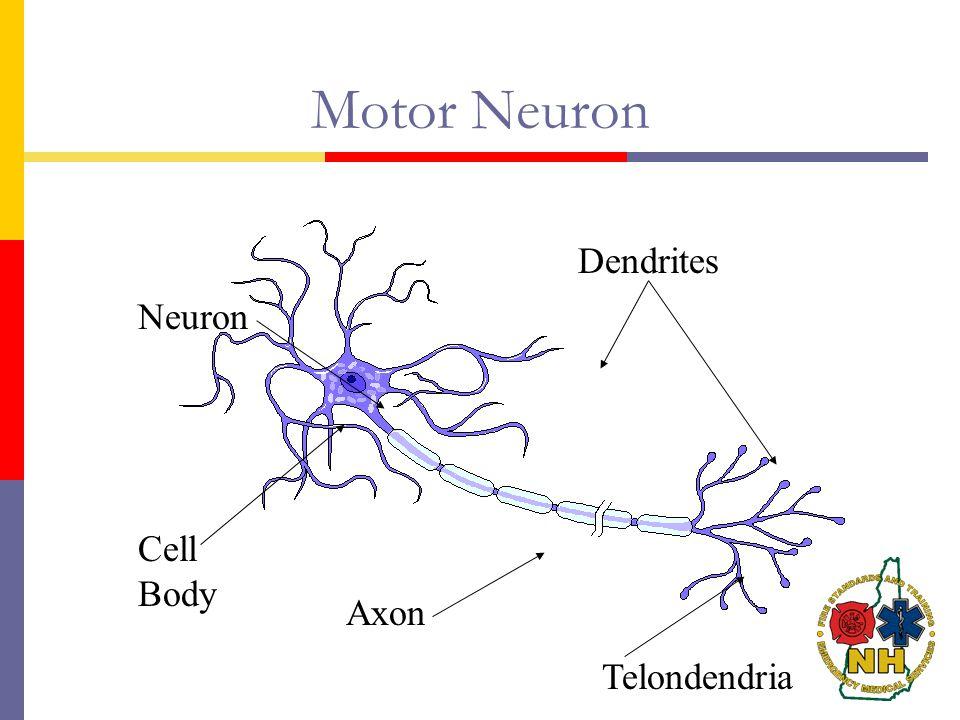 Motor Neuron Dendrites Neuron Cell Body Axon Telondendria
