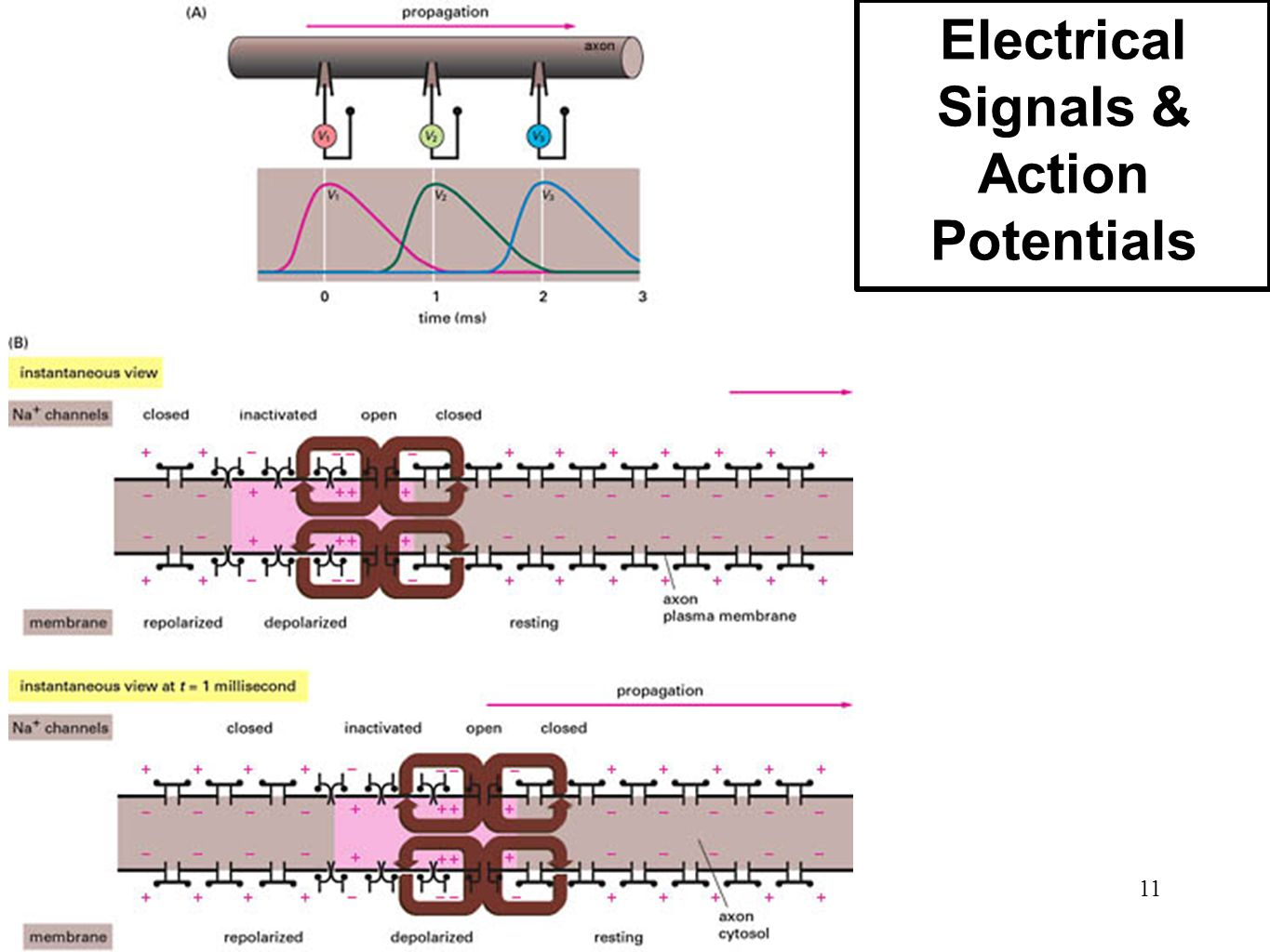 Electrical Signals & Action Potentials