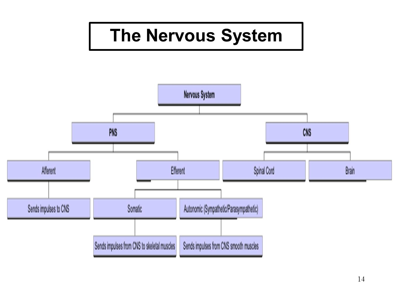 The Nervous System 14