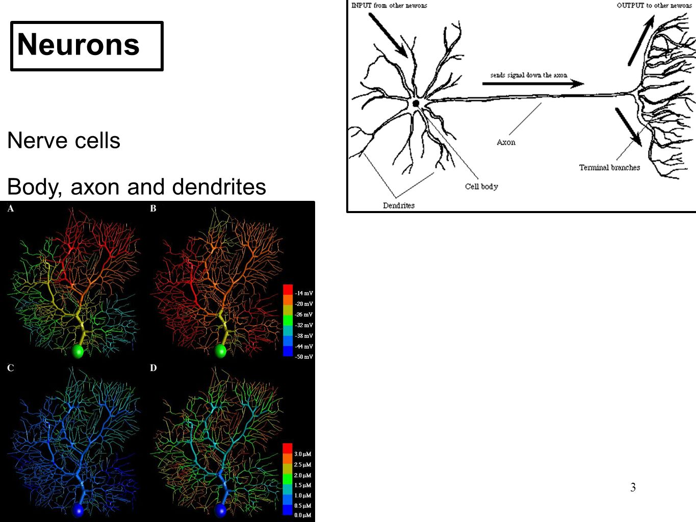 Neurons Nerve cells Body, axon and dendrites 3