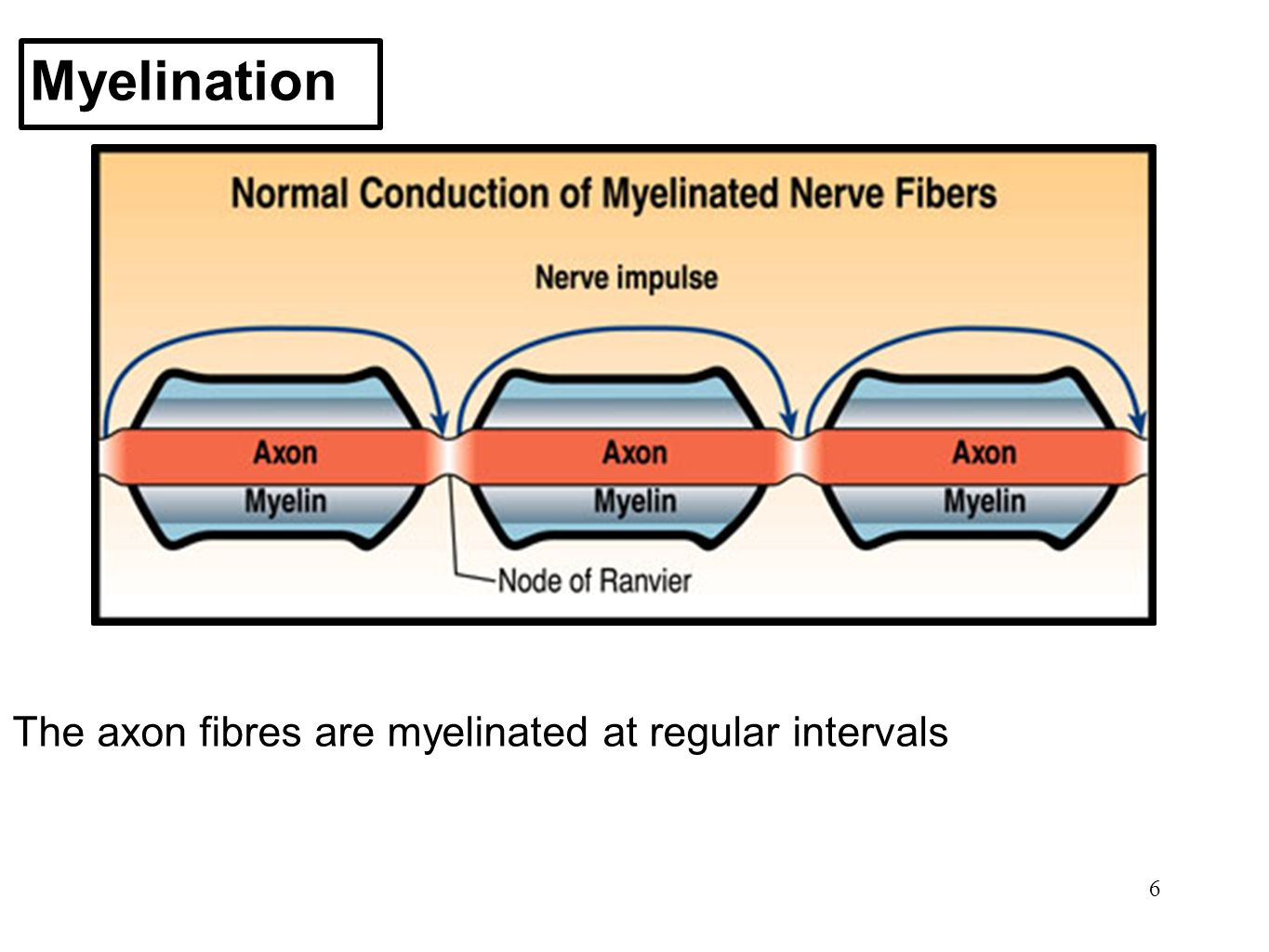 Myelination The axon fibres are myelinated at regular intervals 6