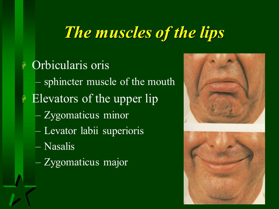 The muscles of the lips Orbicularis oris Elevators of the upper lip