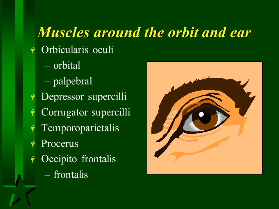 Muscles around the orbit and ear