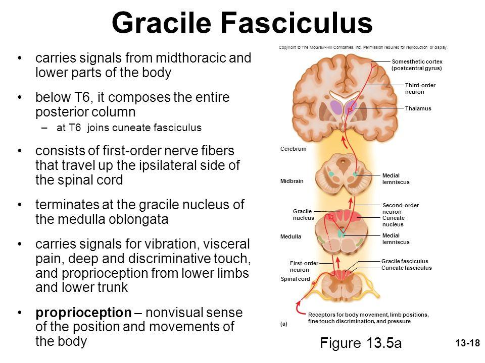 Gracile Fasciculus Figure 13.5a
