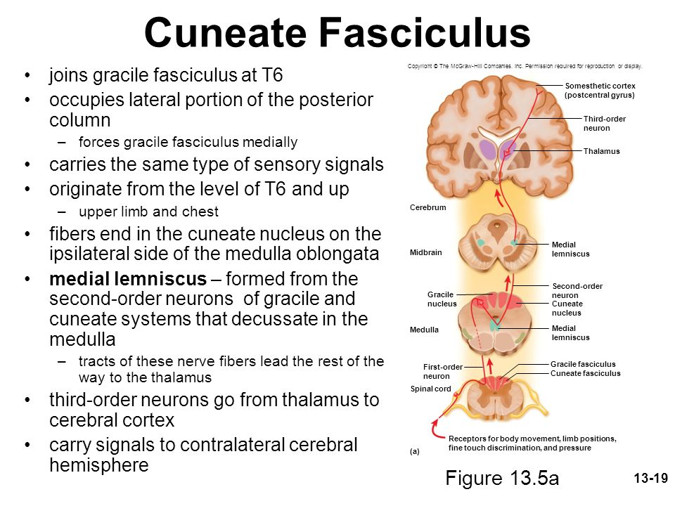 Cuneate Fasciculus Figure 13.5a joins gracile fasciculus at T6