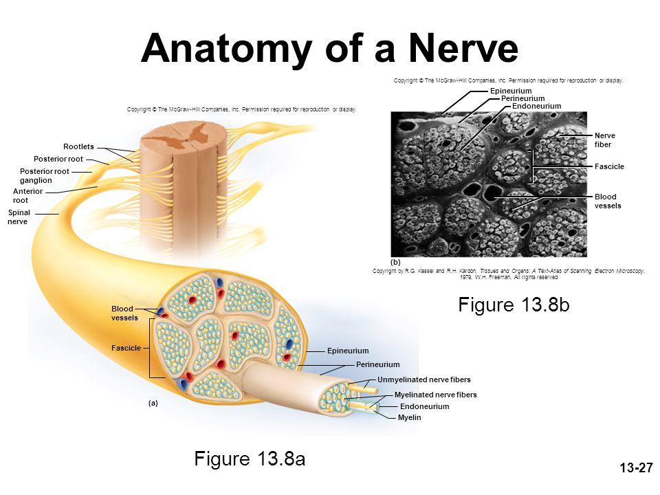 Anatomy of a Nerve Figure 13.8b Figure 13.8a Epineurium Perineurium