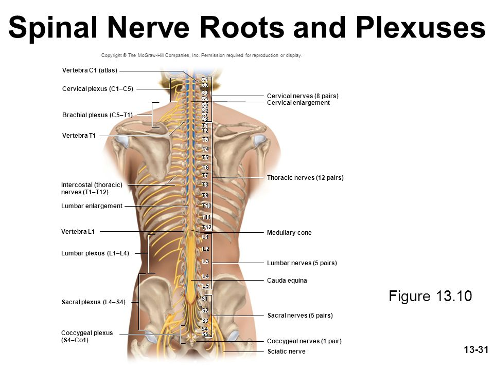 Spinal Nerve Roots and Plexuses