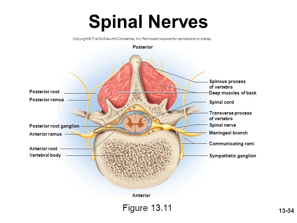 Spinal Nerves Figure 13.11 Posterior Spinous process of vertebra