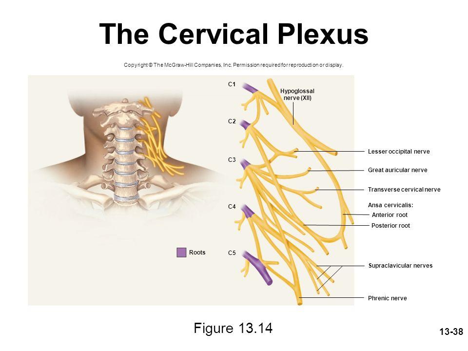 The Cervical Plexus Figure 13.14 C1 Hypoglossal nerve (XII) C2