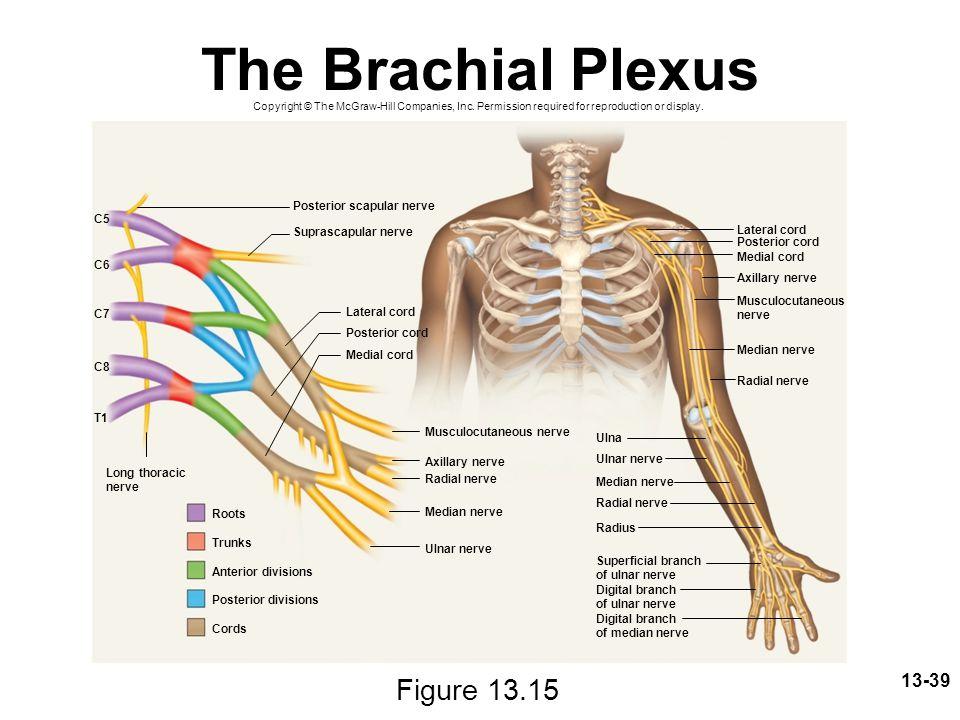 The Brachial Plexus Figure 13.15 Posterior scapular nerve C5