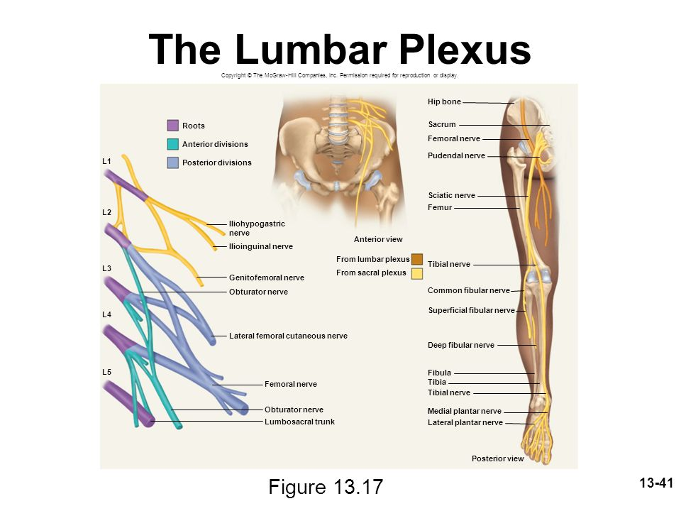 The Lumbar Plexus Figure 13.17 Hip bone Roots Sacrum Femoral nerve