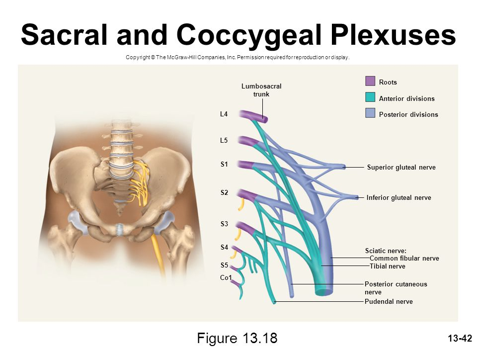 Sacral and Coccygeal Plexuses