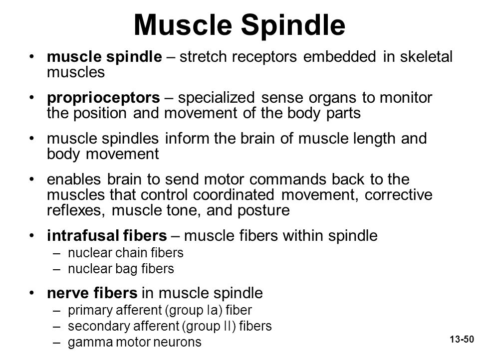 Muscle Spindle muscle spindle – stretch receptors embedded in skeletal muscles.