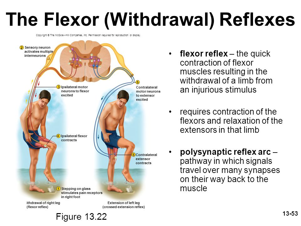 The Flexor (Withdrawal) Reflexes
