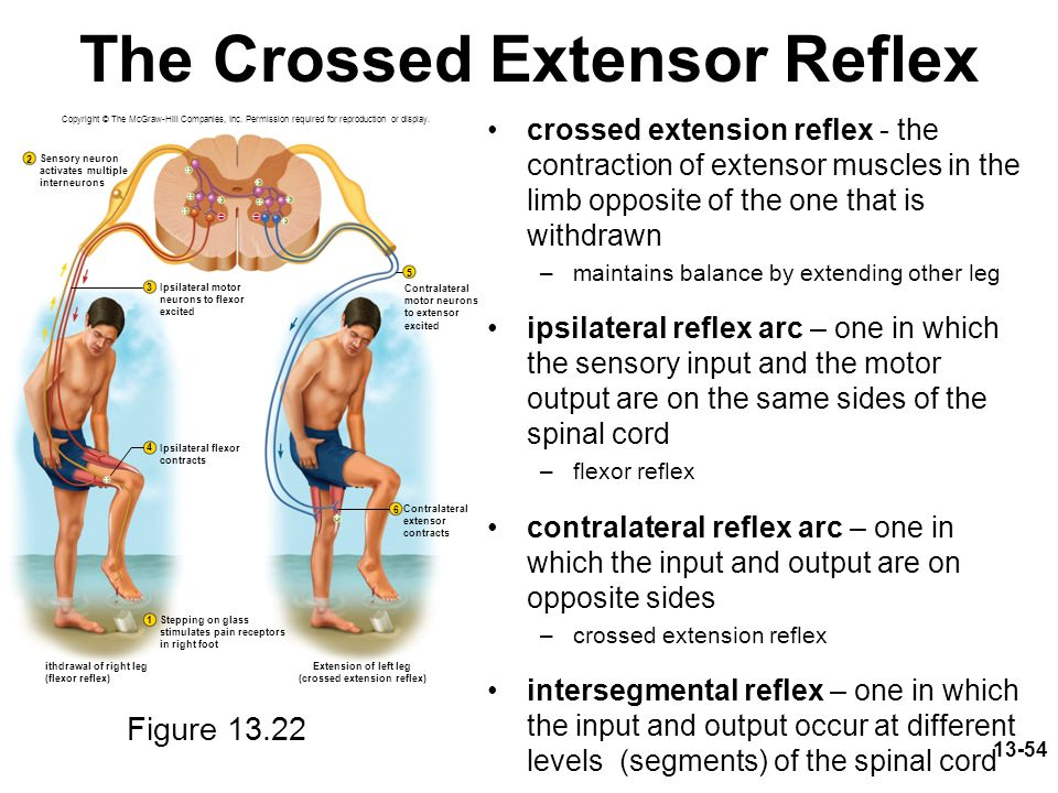 The Crossed Extensor Reflex